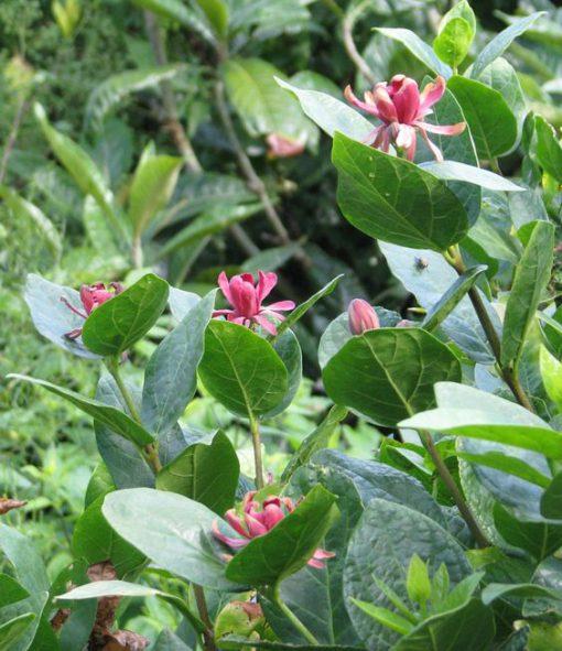 برگ و گلهای گل شراب