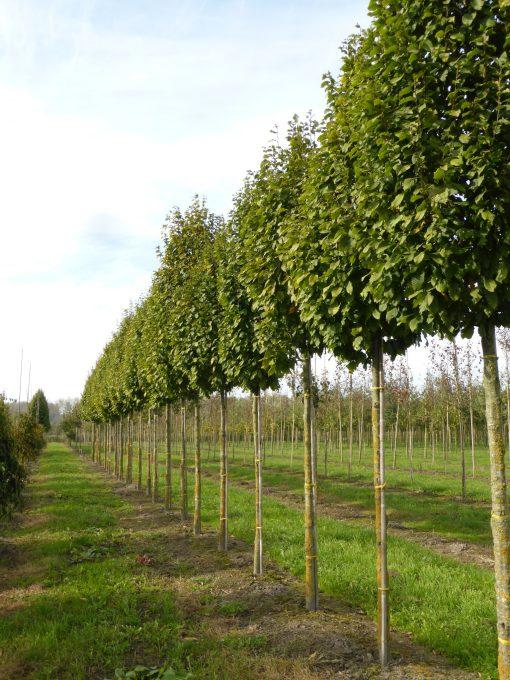 کاربرد درخت ممرز