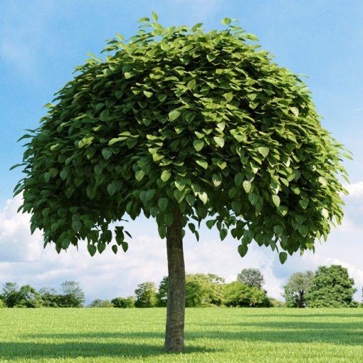 خرید درخت جوالدوز