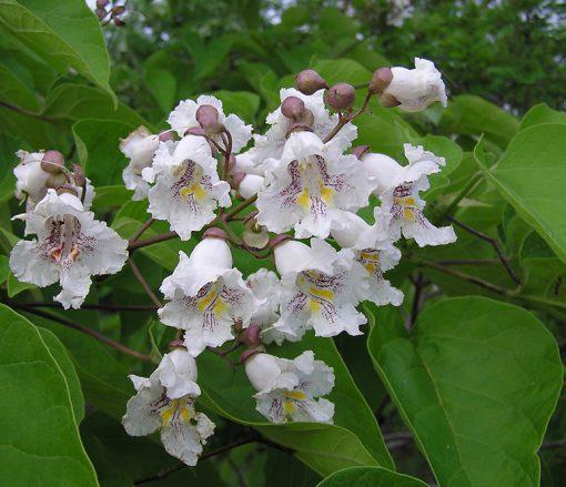 گلهای درخت جوالدوز