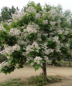 فروش درخت جوالدوز