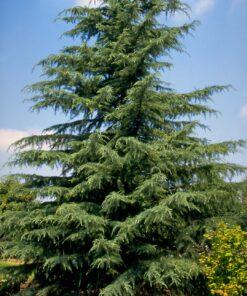 درخت سدر دیودار