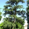 درخت سدر لبنان