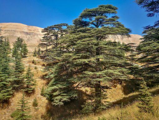 فرم درخت سدر لبنان