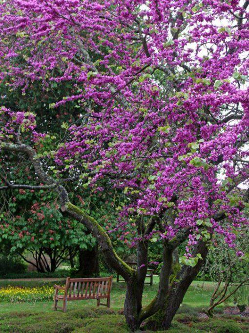 درختچه ارغوان