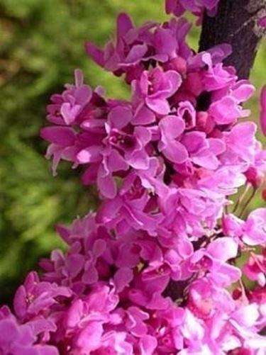گلهای درختچه ارغوان