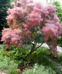 درختچه پر