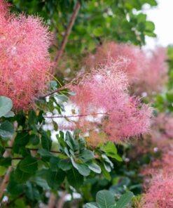 گلهای درختچه پر