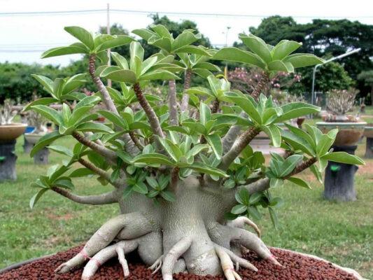 گیاه آدنیوم با نام مستعار رز صحرایی