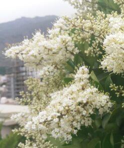 گلهای یاس هلندی