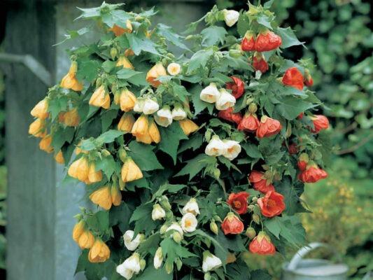 گل نمدی، گل ابوتیلون، گل زنگوله ای
