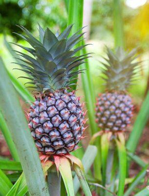 گیاه آناناس