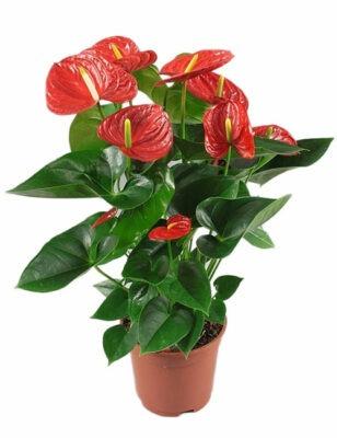گل آنتوریوم قرمز