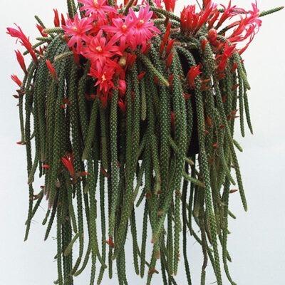 کاکتوس دم موشی Aporocactus flagelliformis
