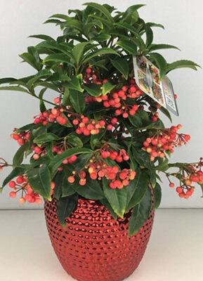 گلدان آردیزیا