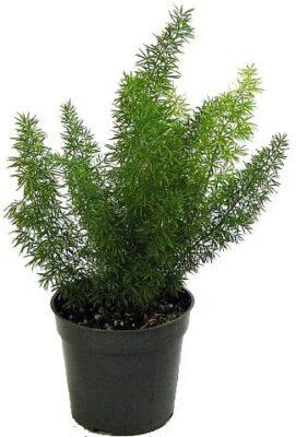 گیاه شویدی یا مارچوبه زینتی
