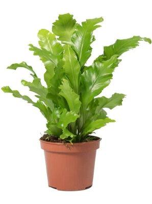 گیاه سرخس لانه پرنده یا آسپلنیوم