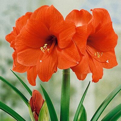 آماریلیس amaryllis orange