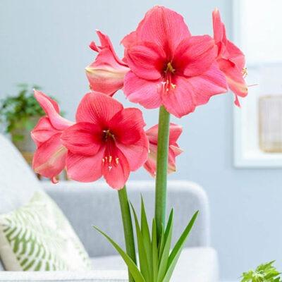 amaryllis pink آماریلیس