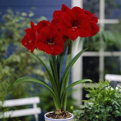 amaryllis Red آماریلیس