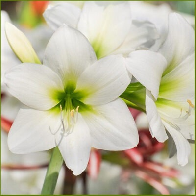 amaryllis white آماریلیس